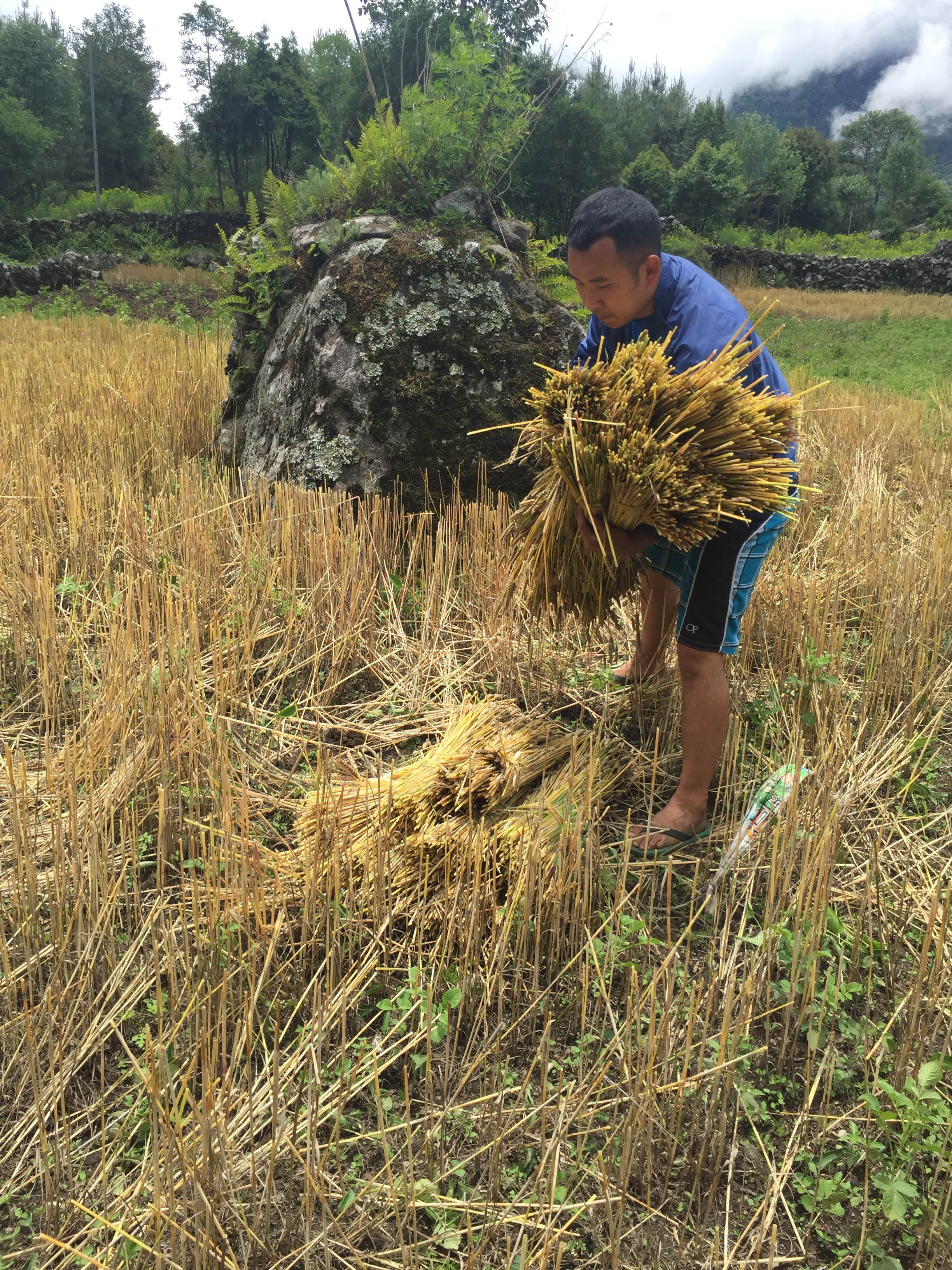 Nima harvesting 1 (1)